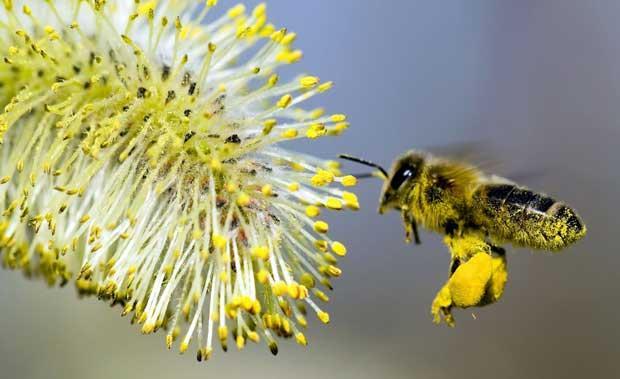 Пчела, пыльца, перга