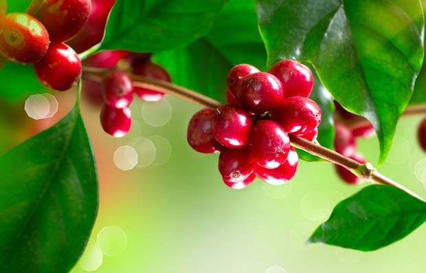 Кофе, Coffee Plant. Branch of a Coffee Tree with Ripe Beans