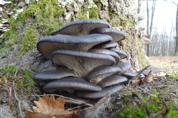грибы, вешенки